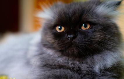 Gato persa en color humo