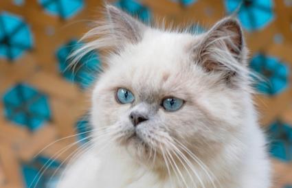 Joven gato del Himalaya