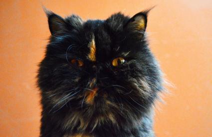 Parti-color naranja y negro gato persa