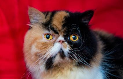 Gato persa de Calico