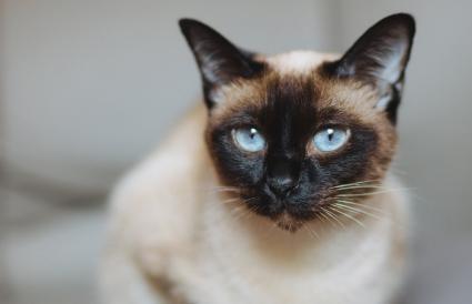 Curioso gato siamés