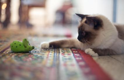 Gato jugando con juguete