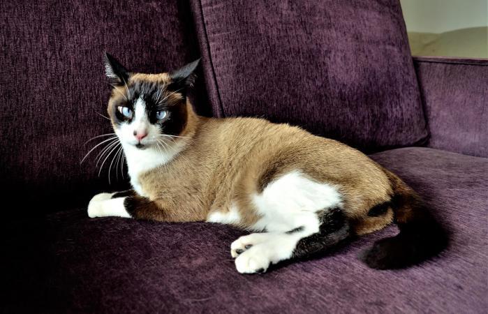 Raquetas de nieve gato siamés en el sofá
