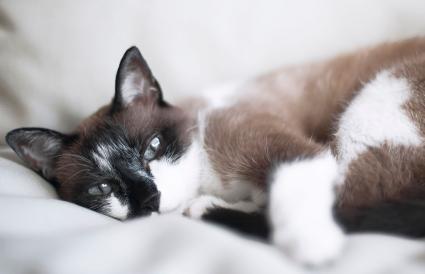 gato europeo mixto siamés