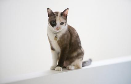 lindo gato siamés