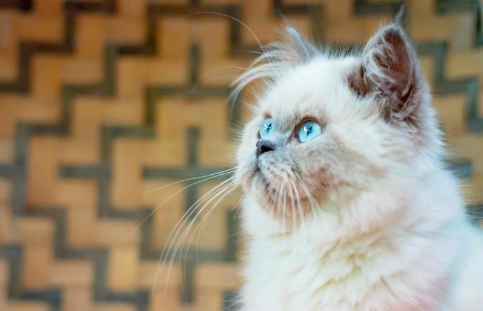 Retrato de un gato joven del Himalaya