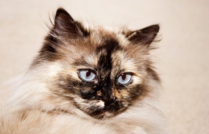 Gato de Punto Tortie