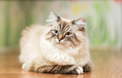 Gato himalaya de punto lince