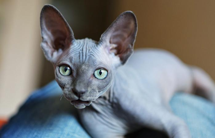 Gato sin pelo Sphynx