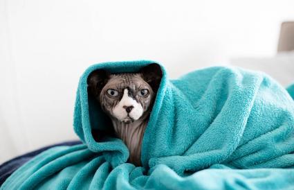 gato esfinge envuelto en una manta