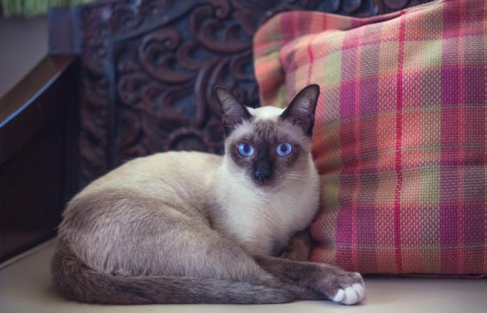 Gato siamés descansando sobre un sofá
