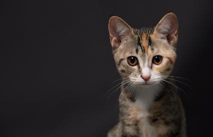Retrato de gatito calicó