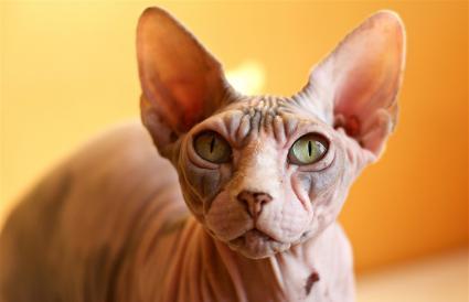 Retrato de gato Sphynx