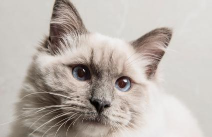 Retrato de cara del gato Ragdoll