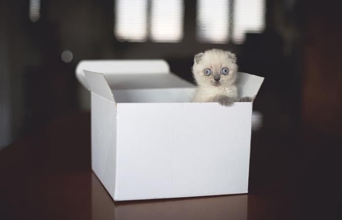 Gatito Scottish Fold en caja