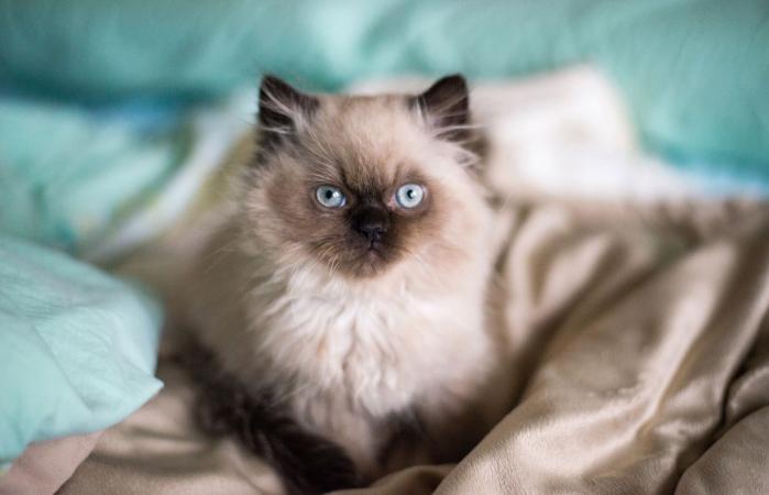 Gatito persa con ojos azules