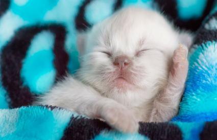 Gatito persa recién nacido