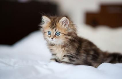 Gatito persa de ojos azules