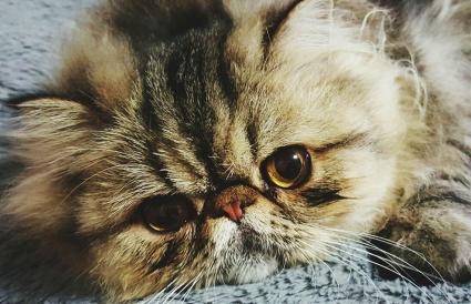 Retrato de un gatito persa en el suelo