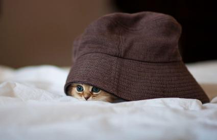Gatito persa bajo sombrero marrón
