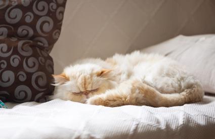 Gato Himalaya durmiendo en el sofá