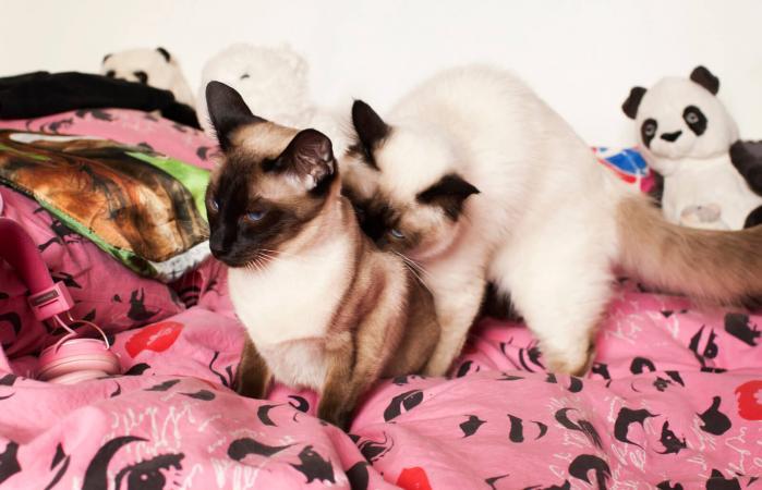 Dos gatos siameses
