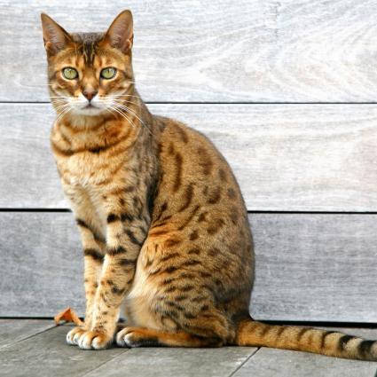 Gato Bengala sentado
