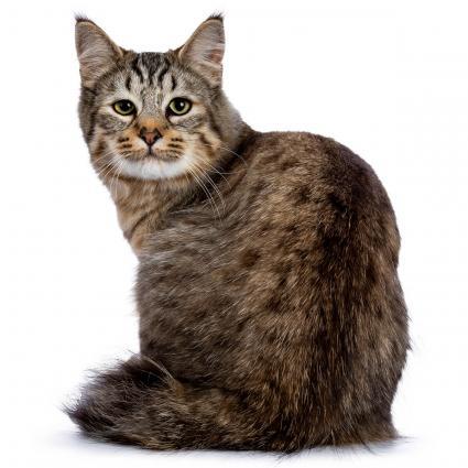 Gato raza Pixiebob