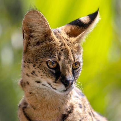 Gato de raza serval