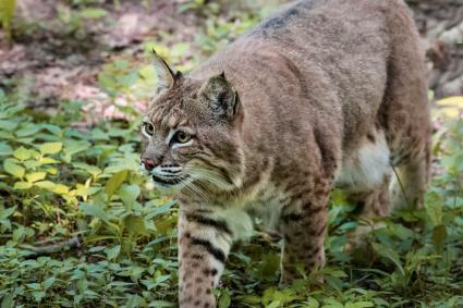 Bobcat caminando