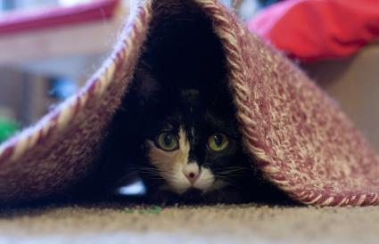 Gato escondido debajo de la alfombra