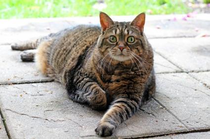 Gato obeso tumbado en el jardin