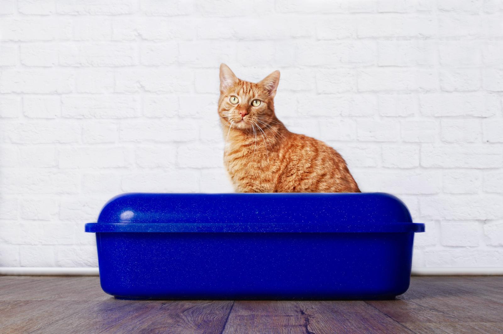 Gato sentado en caja de arena azul