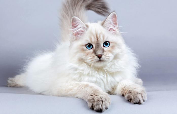 Gatito siberiano
