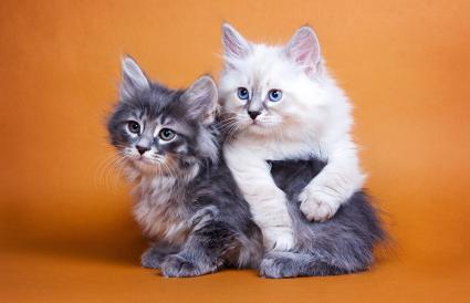 Dos gatitos siberianos
