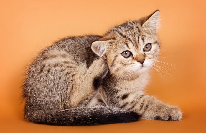 Gatito tabby rascándose la oreja