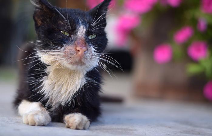 gato enfermo blanco y negro
