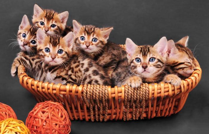 Gatitos Bengala en una cesta