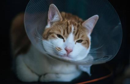 Gato con collar isabelino