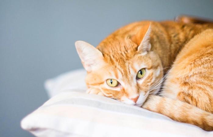 Hermoso gato naranja mirando a la cámara