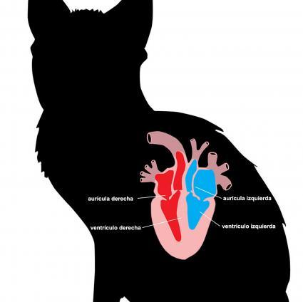 Anatomía del corazón del gato