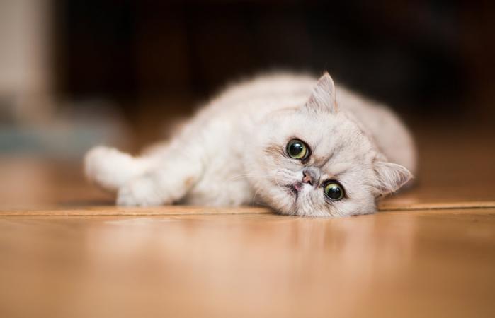 Exótico gato descansando en el suelo