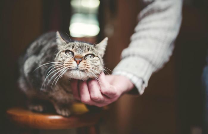 Mano de hombre acariciando gato tabby