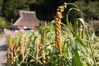 https://cf.ltkcdn.net/gluten/images/slide/75393-849x565-Millet_Growing_%282%29.jpg