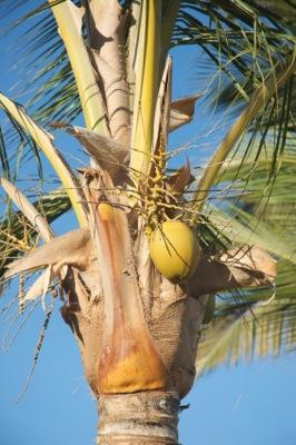 Coconuts are an exotic food.