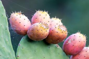 https://cf.ltkcdn.net/gourmet/images/slide/219850-850x567-Cactus-Fig.jpg
