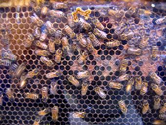 Why Honey Bees Are Important to the Planet