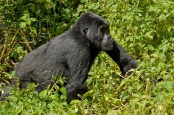 Endangered gorilla roaming