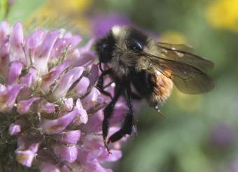 Bee on clover flower