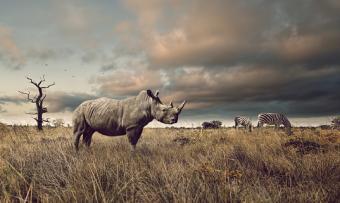 Rhino and zebra in grasslands